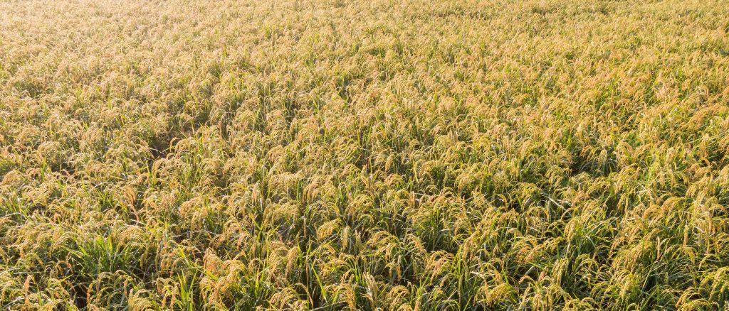 収穫を待つ酒蔵横の穂増の田