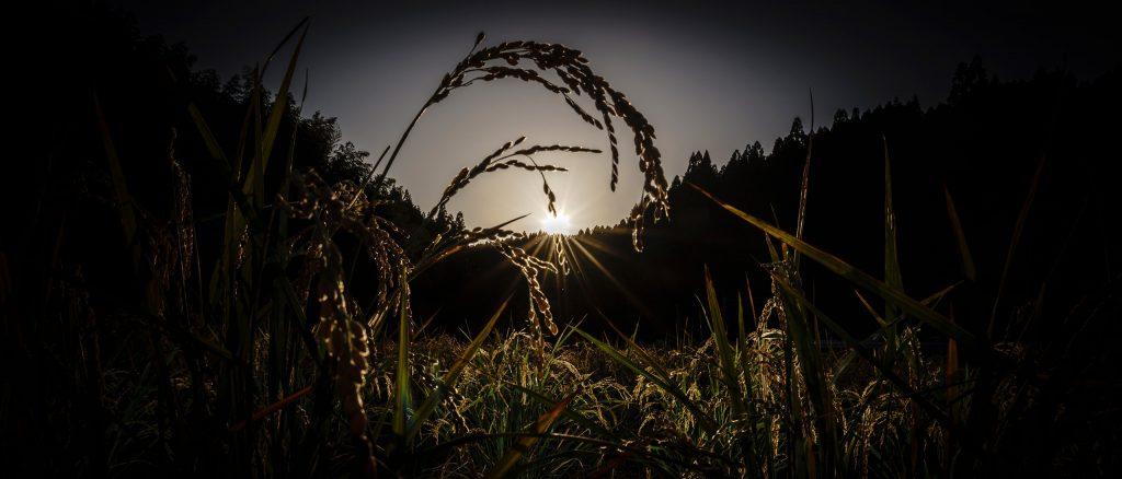 米の品種の可能性