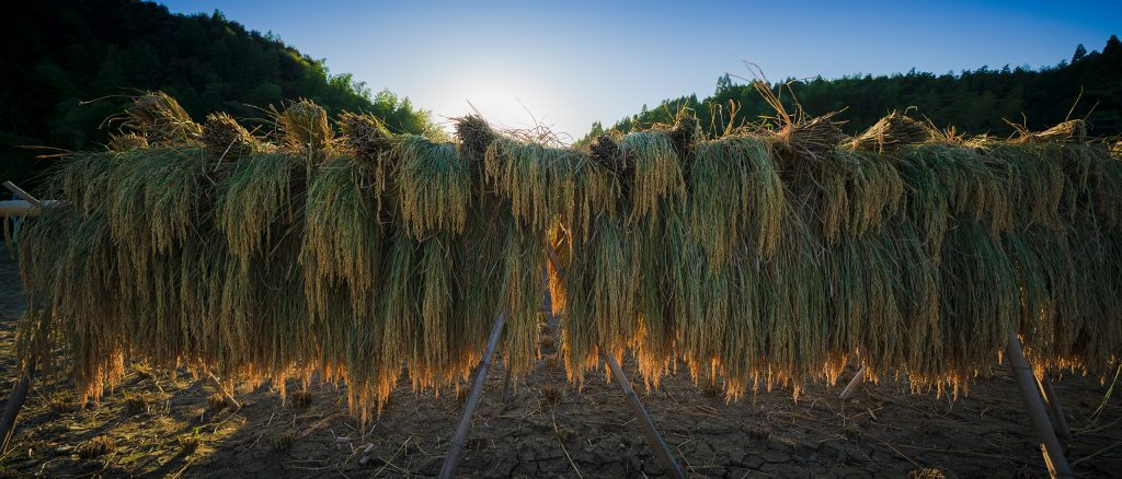 稲架掛けされた穂増