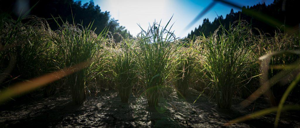 和水町産 産土米